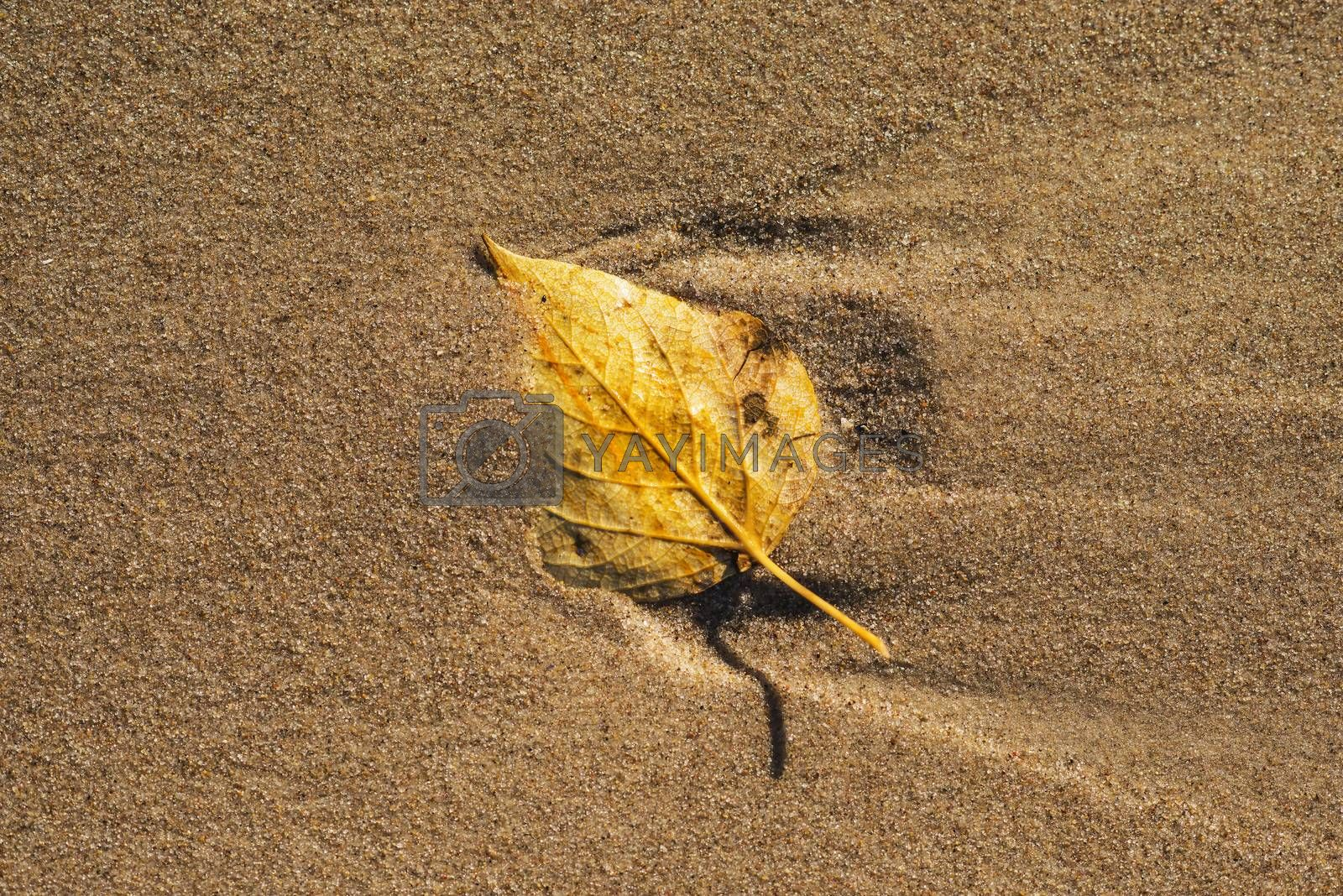 autumnal painted leaf on a beach by bremse