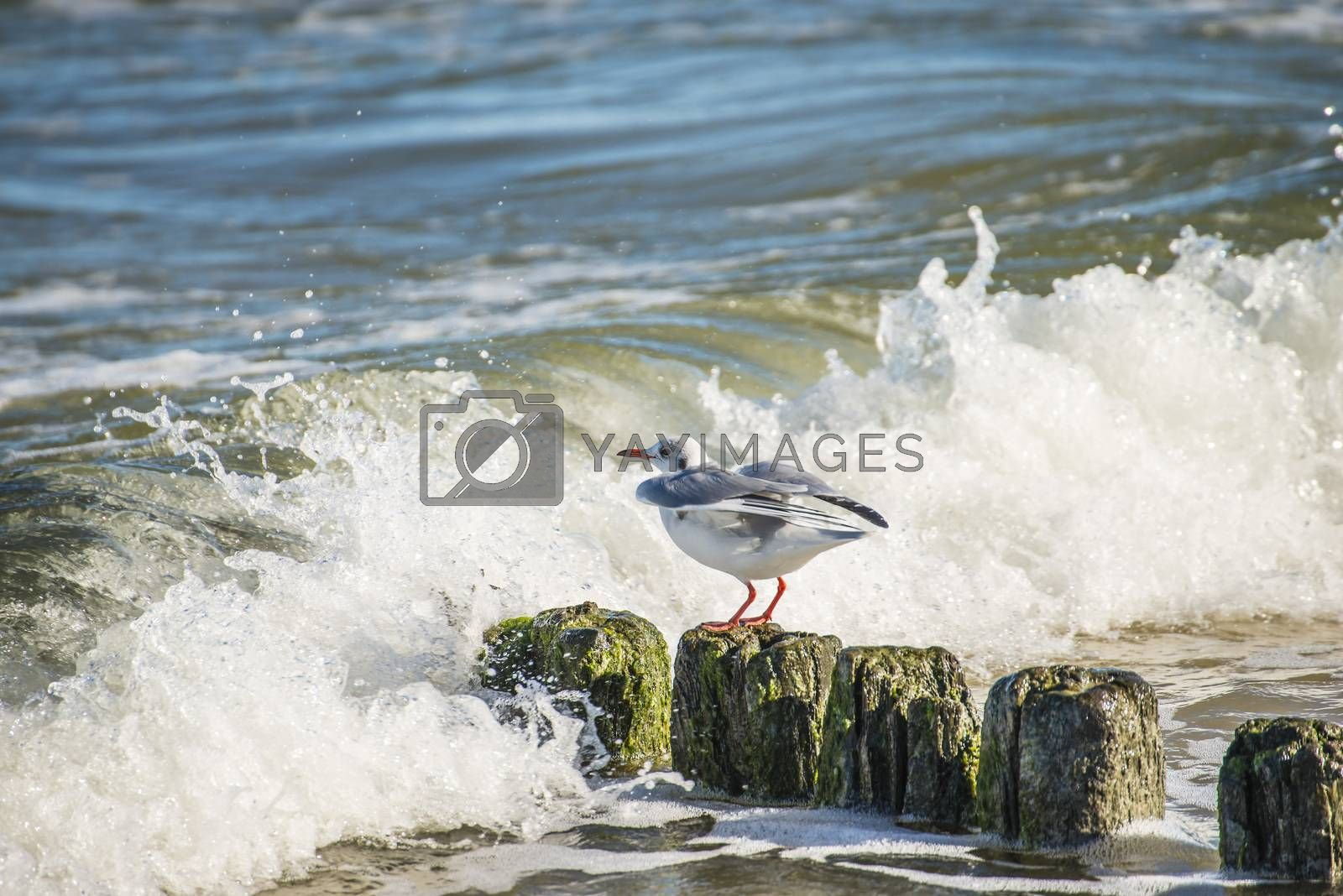 Black-headed gull on groynes in the Baltic Sea by Jochen