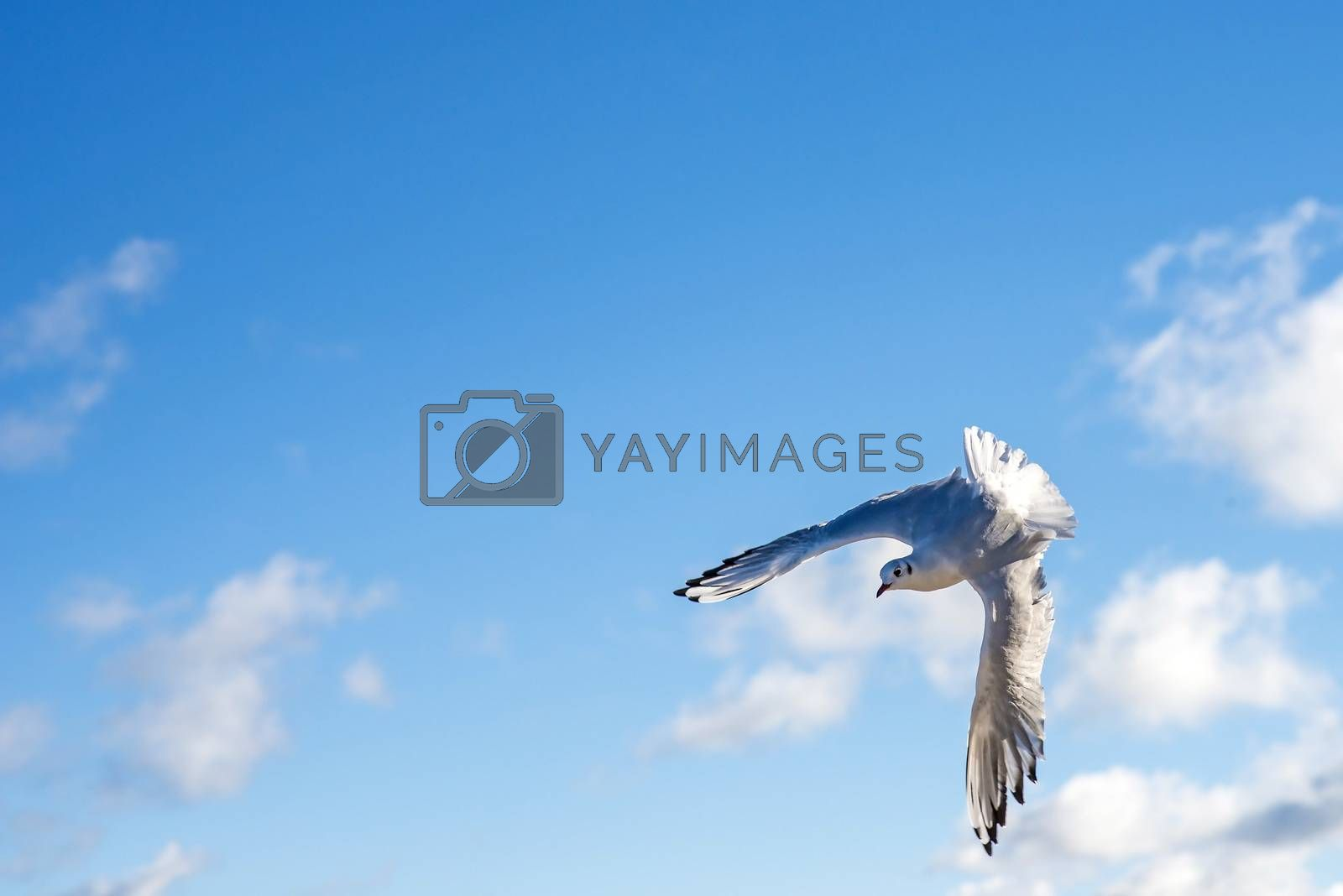 Black-headed gull flying by bremse