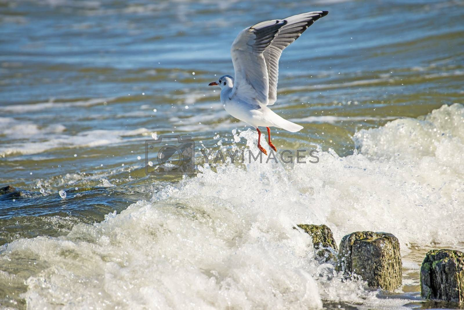 Black-headed gull over groynes in the Baltic Sea