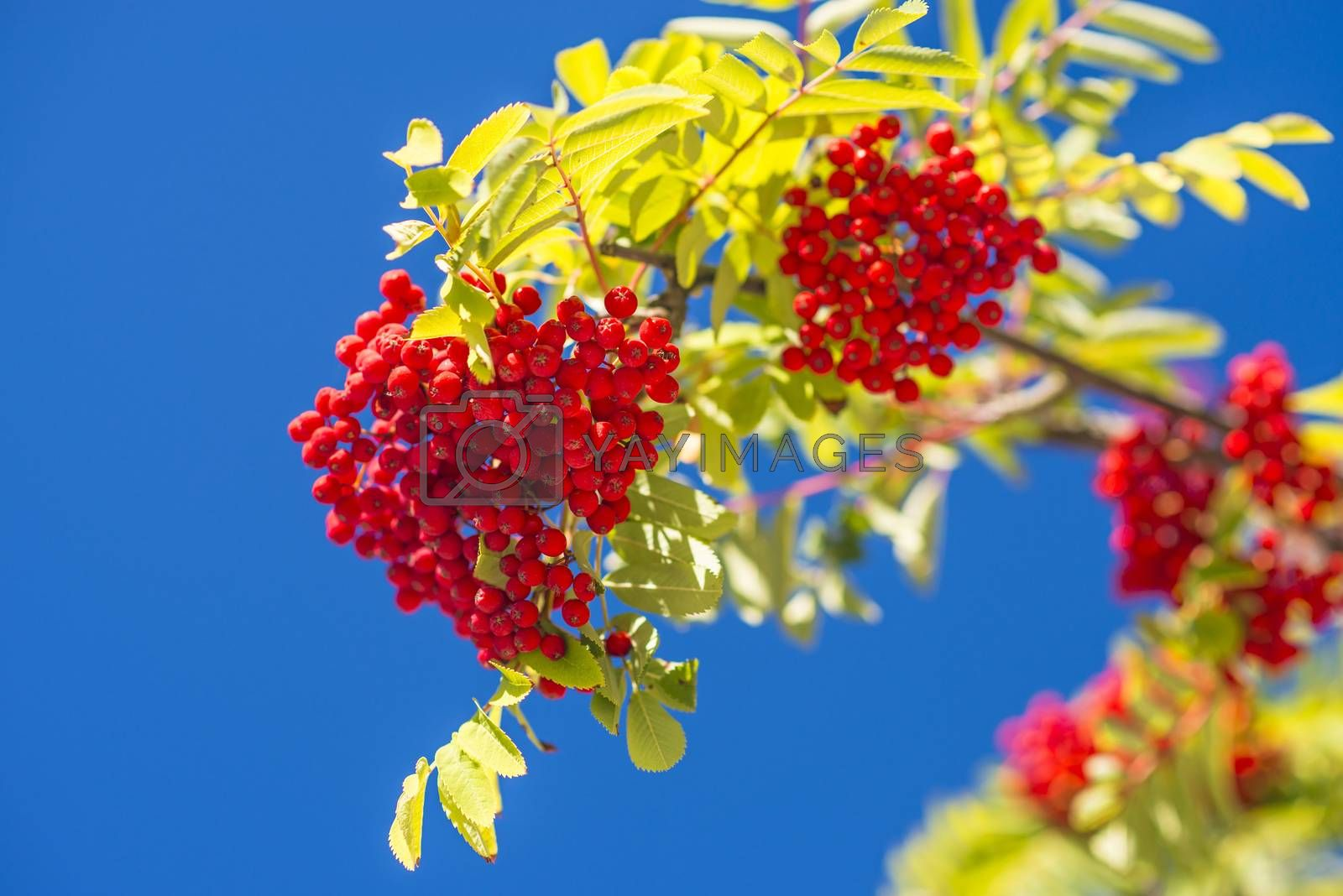 rowan berry by Jochen