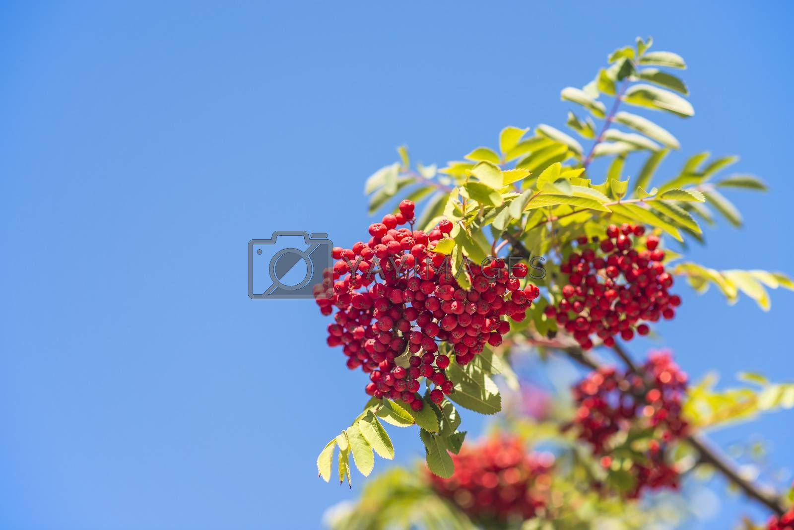 rowan berry by bremse