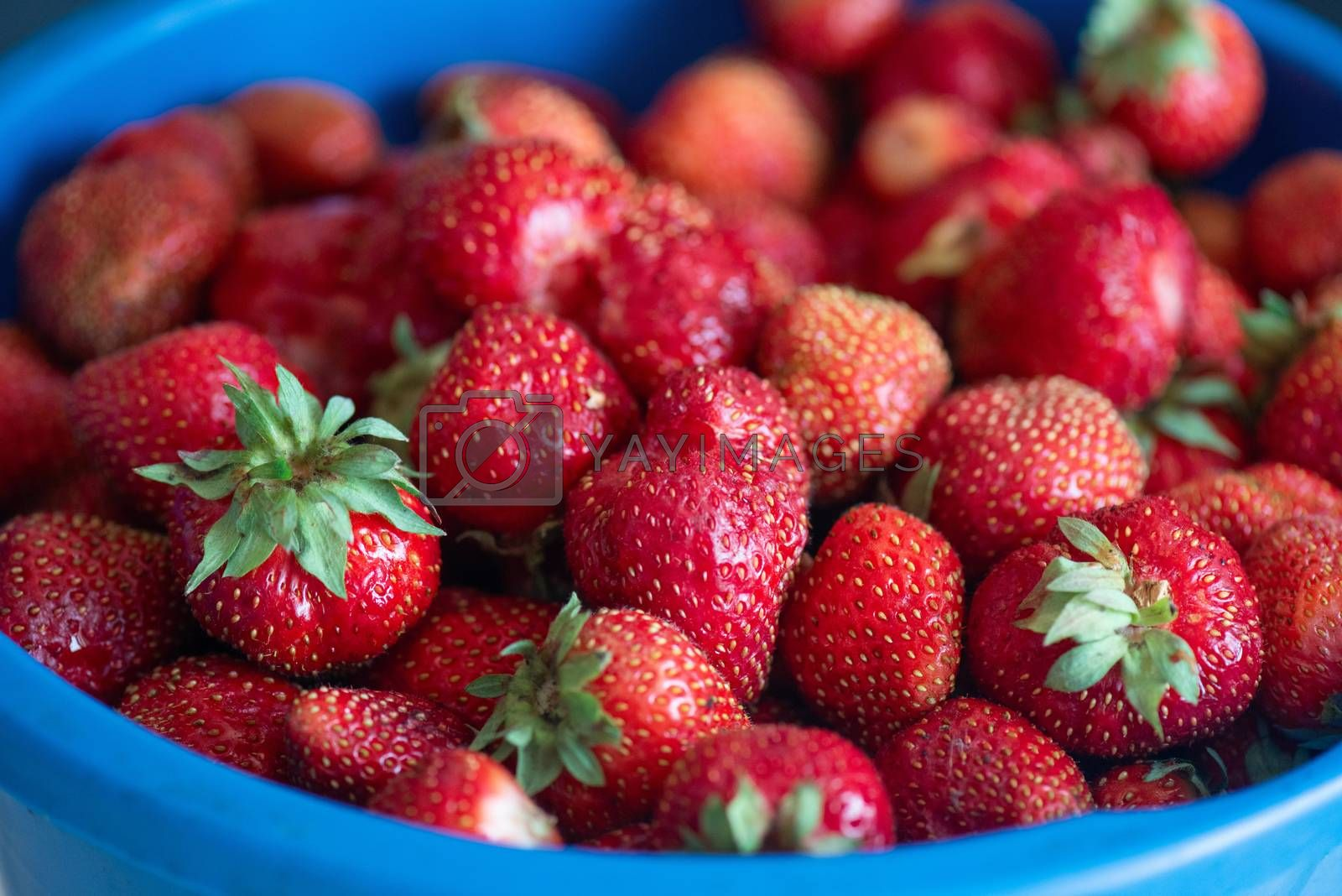 A bucket of ripe delicious strawberries