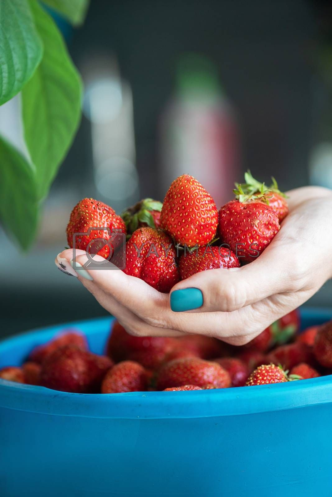A bucket of ripe delicious strawberries, and woman hand hold berries
