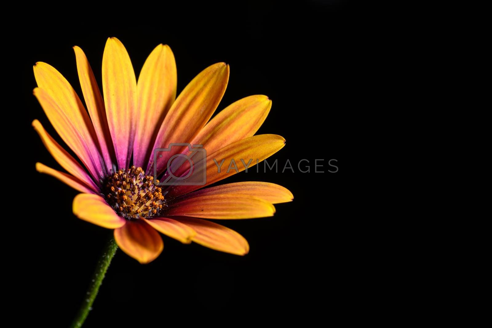 single Daisy flower isolated on a black background