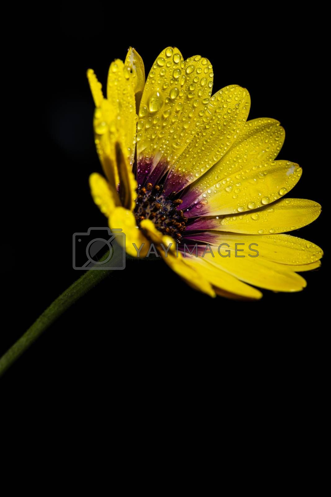 single yellow Daisy flower isolated on a black background