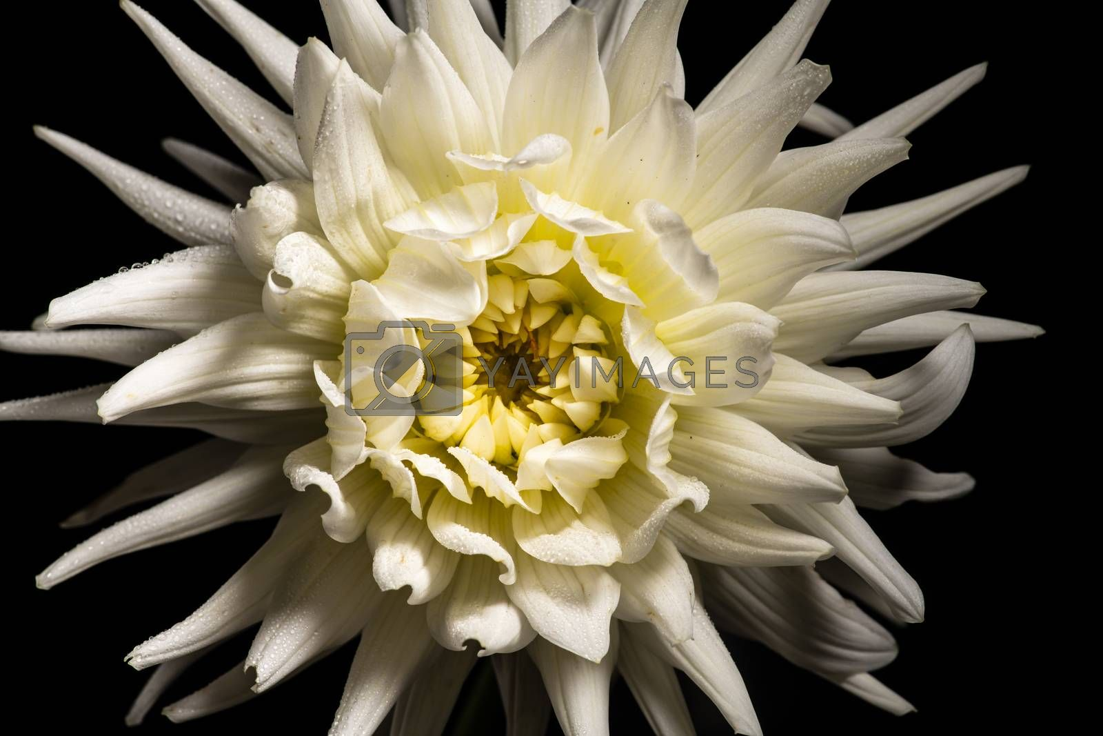 White chrysanthemum flower by andyperiam