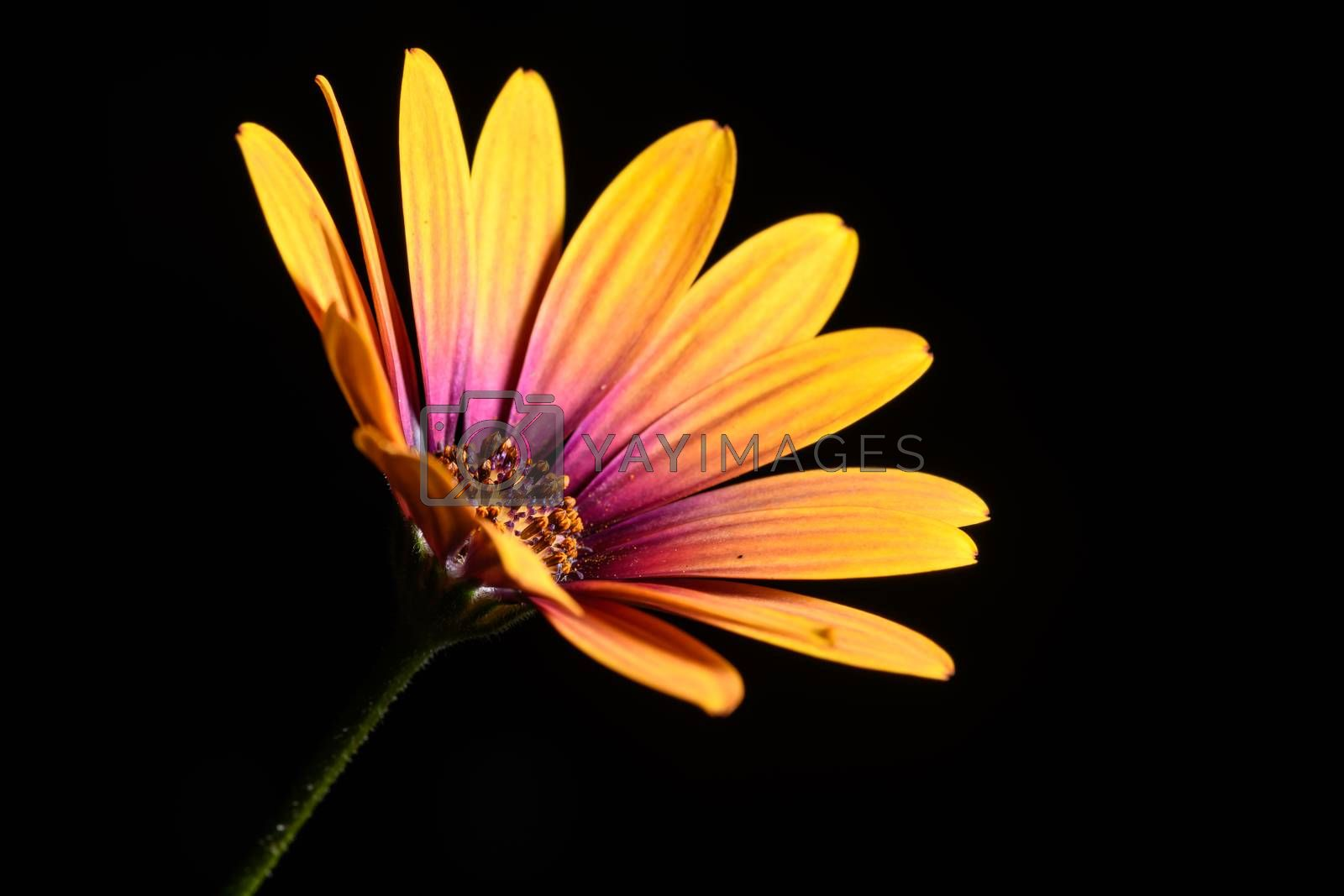 Daisy flower by andyperiam