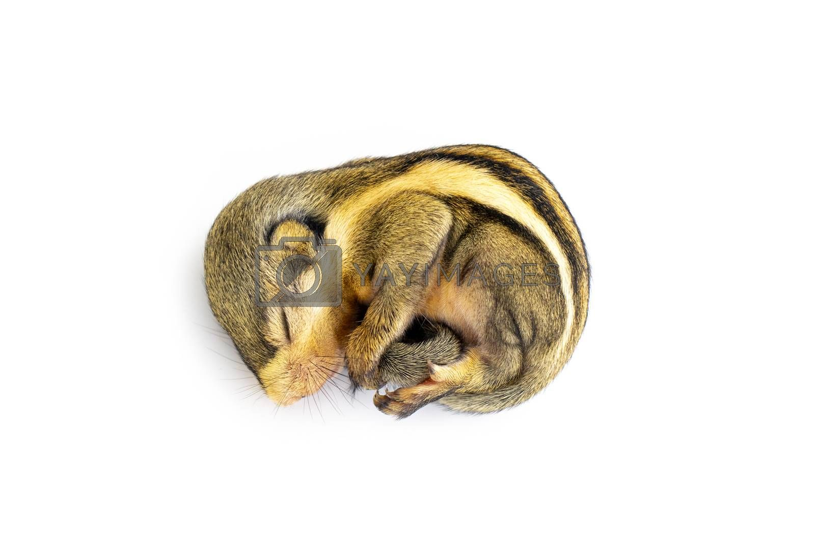Baby himalayan striped squirrel or Baby burmese striped squirrel(Tamiops mcclellandii) on white background. Wild Animals.