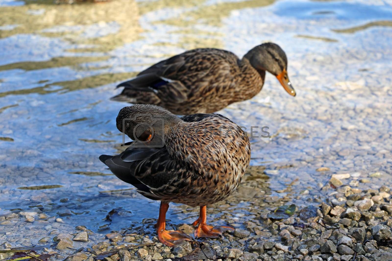 Ducks stand on the shore of the lake and wash. by kip02kas