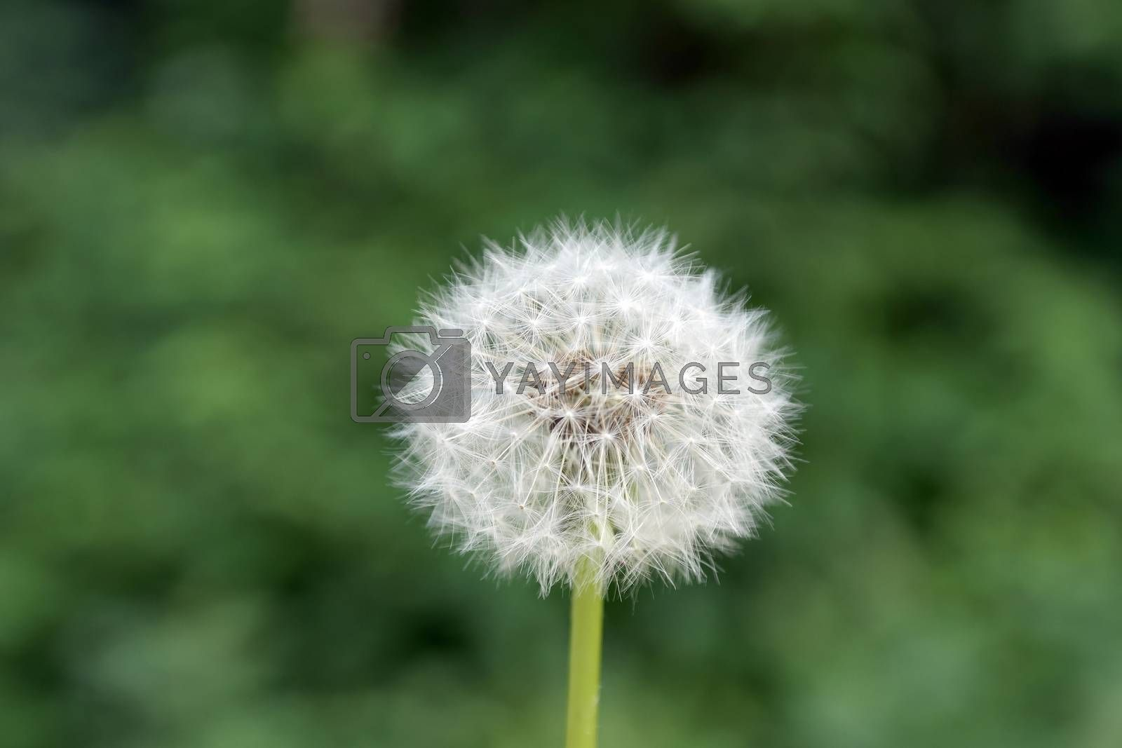 dandelion on green blurred background by sergpet