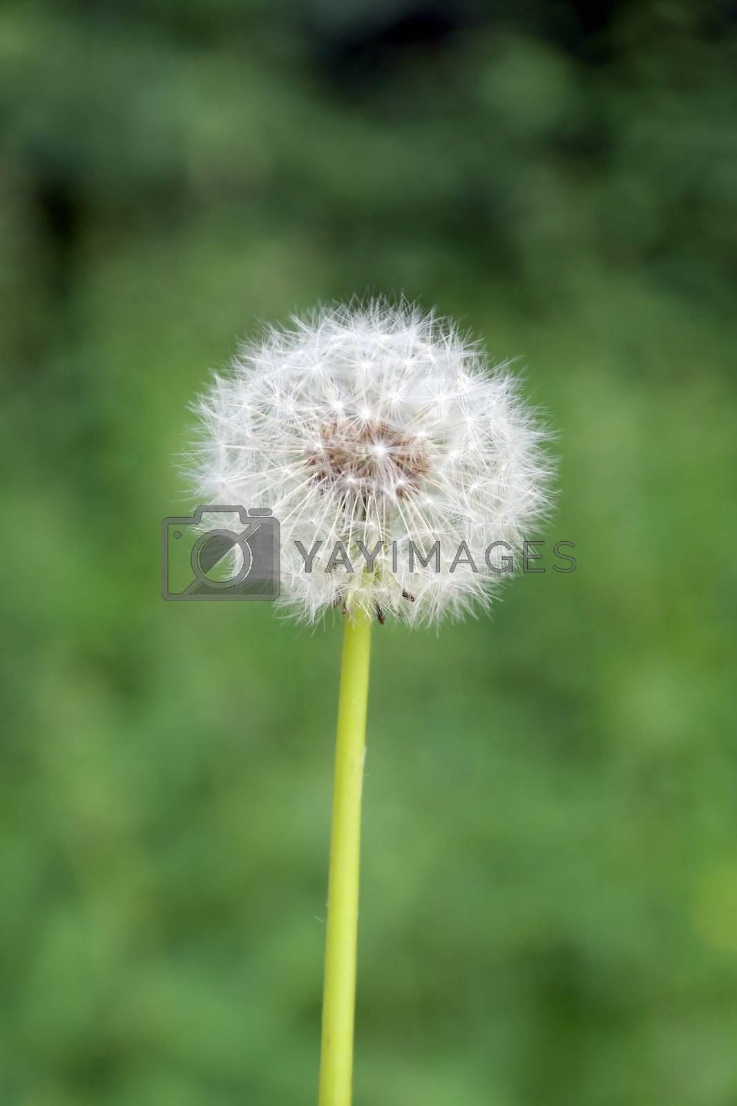 dandelion on green blurred background