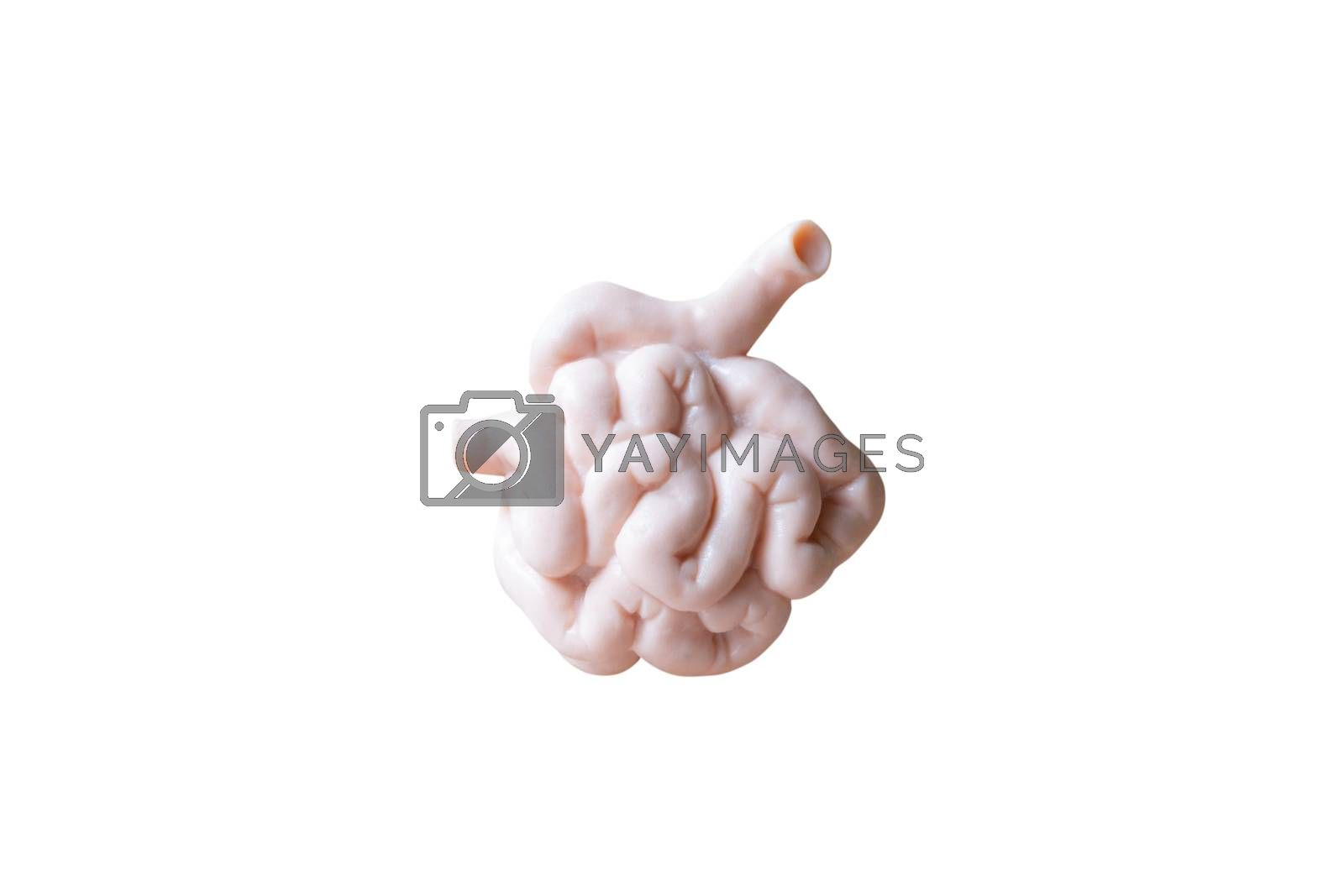 Human Small intestine  Anatomical Model isolated on white background