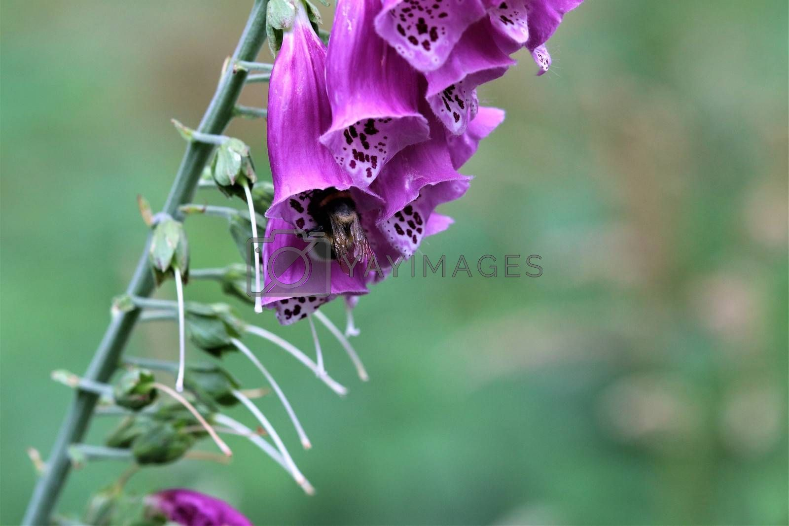 A close up of a pink foxglove in the forest by Luise123