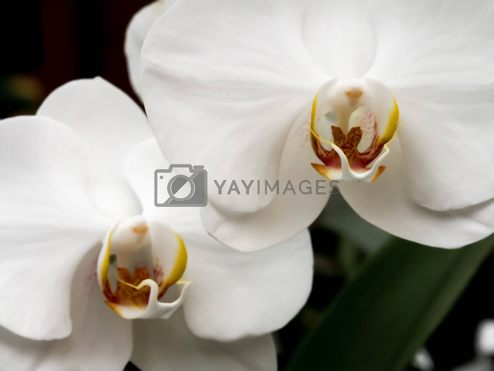 White orchids flowers. Exotic plants