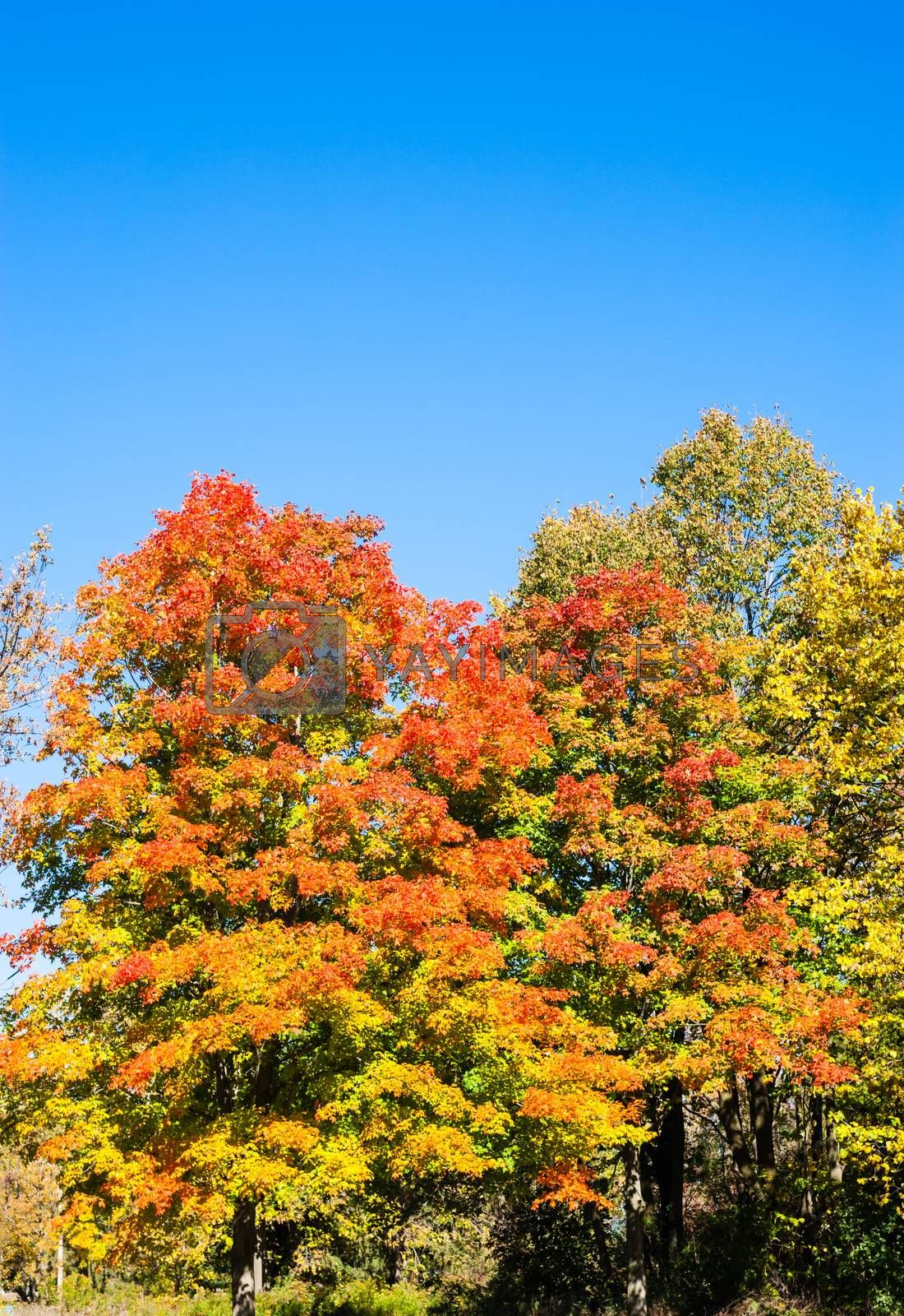 Autumn trees turning orange under blue sky by ArchonCodex