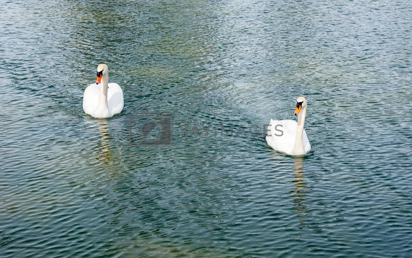 Two adult mute swans approaching on rippled wavy pond water.