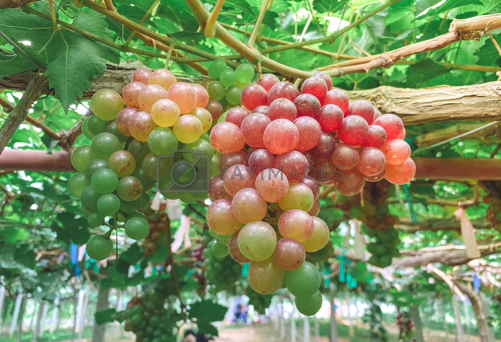 Fresh grapes hung on grape trees of vineyards.,agriculture.