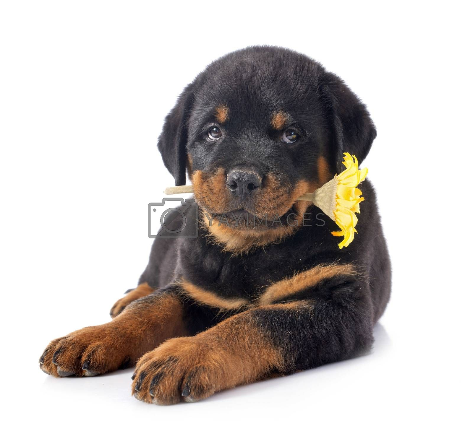 portrait of a purebred puppy rottweiler in front of white background