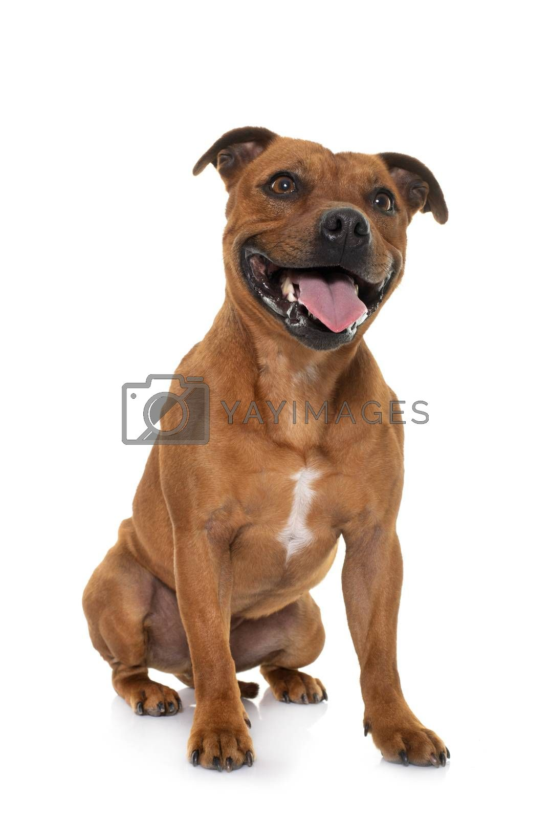stafforshire bull terrier in front of white background