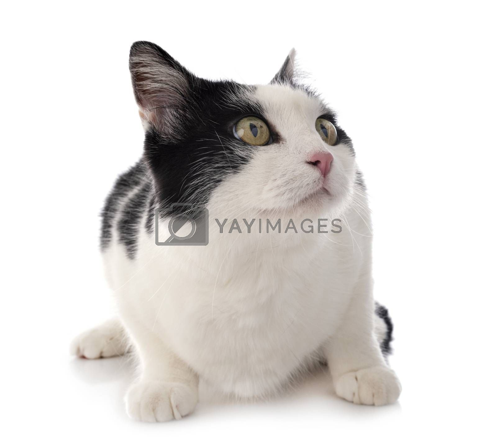 stray cat in front of white background