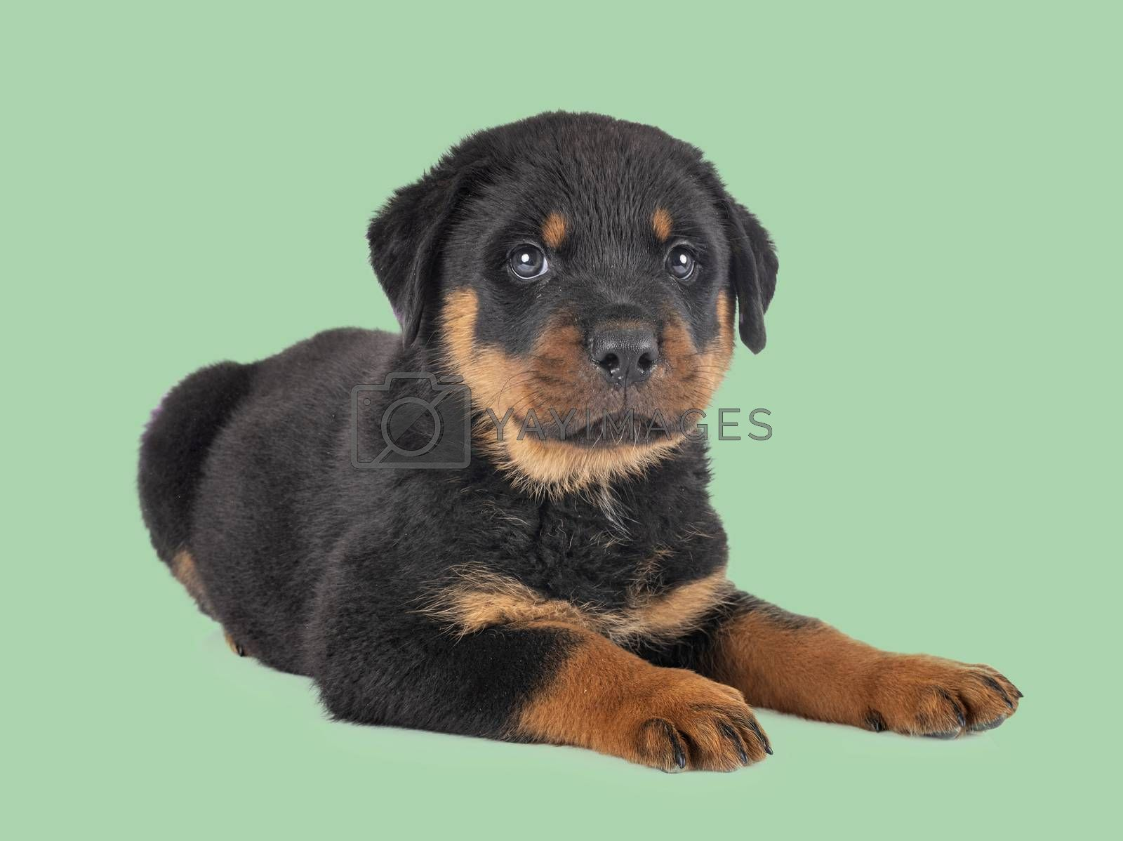 puppy rottweiler in front of green background