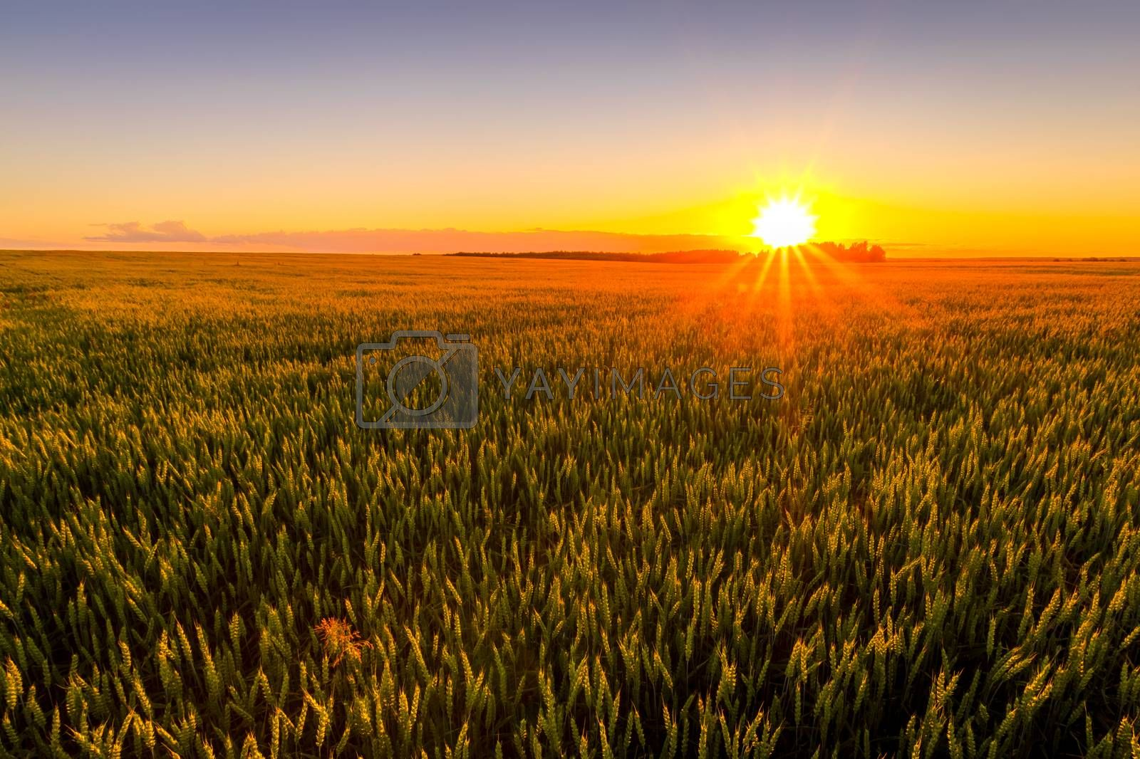 Sunset or sunrise in an agricultural field with ears of young green rye and a path through it on a sunny day. The rays of the sun pushing through the clouds. Landscape.