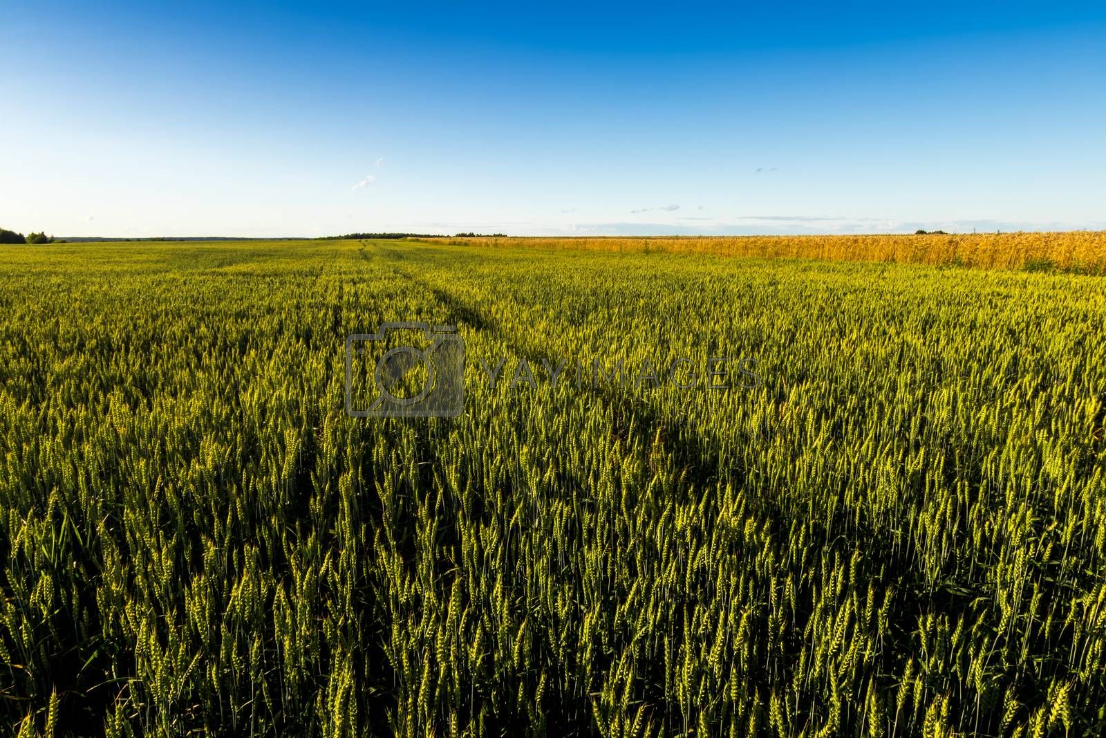 Agricultural field with young green rye on a clear sunny evening with clear blue sky. Landscape.