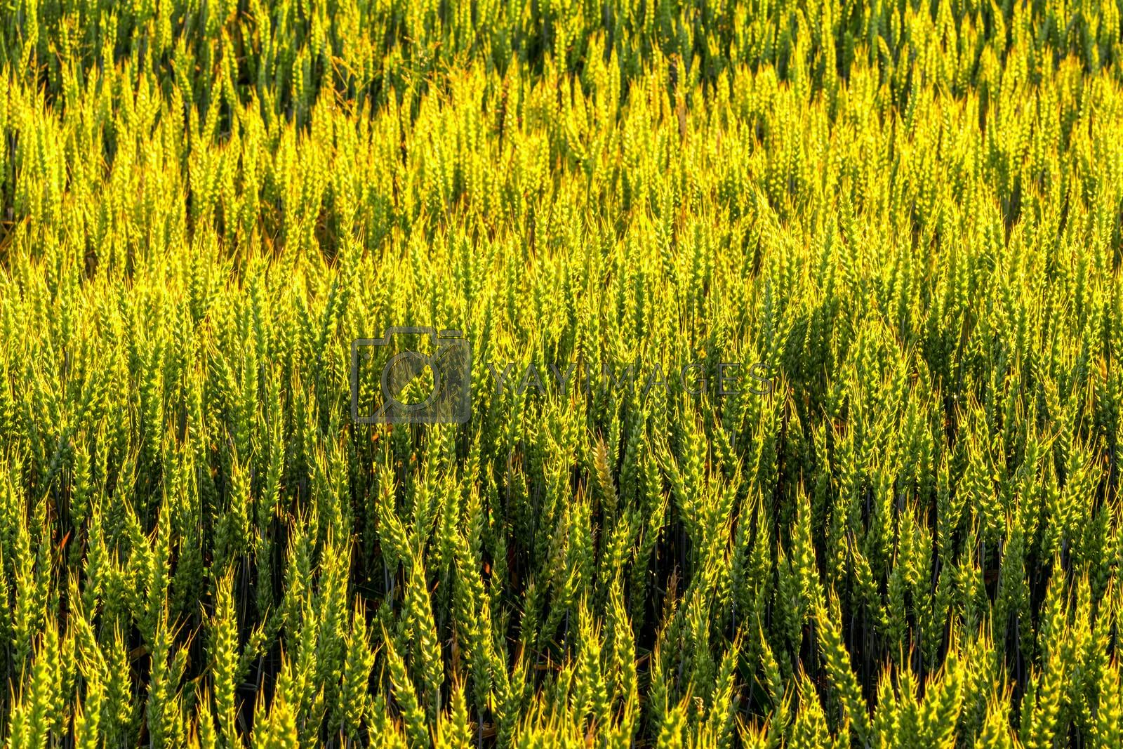 Green ears of young rye lit by the evening rays of the sun. The concept of agriculture and cultivation of cereals. Close-up.