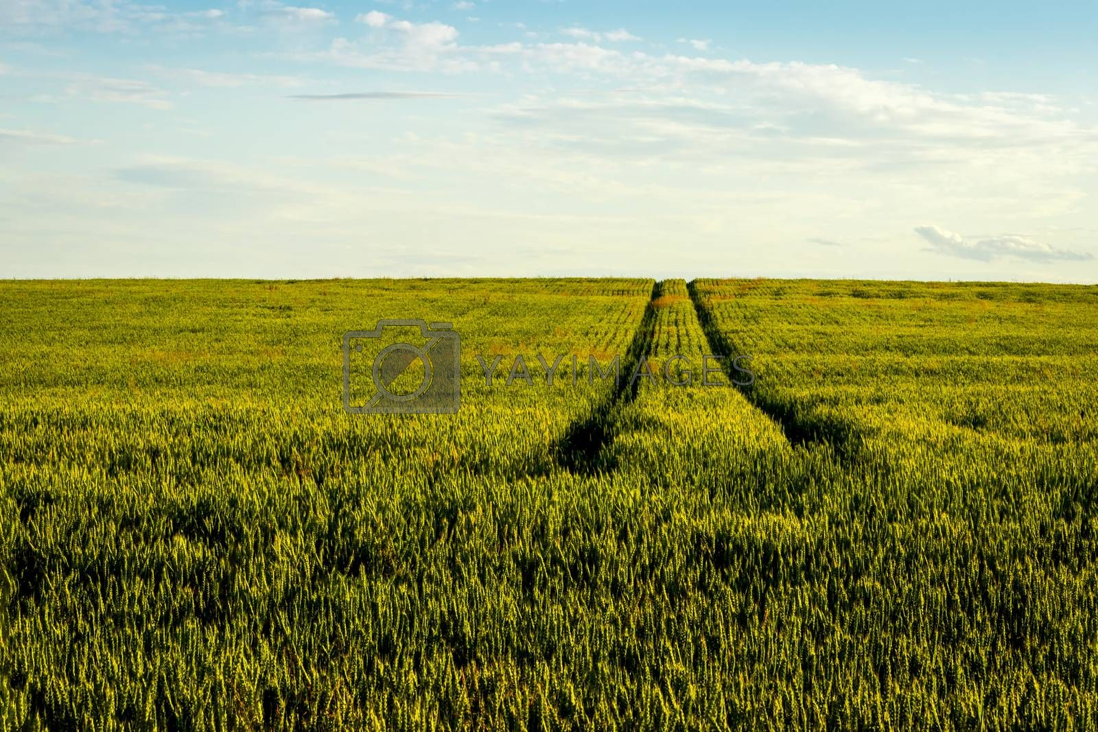 Agricultural field with young green rye on a clear sunny evening with clear blue sky and path. Landscape.