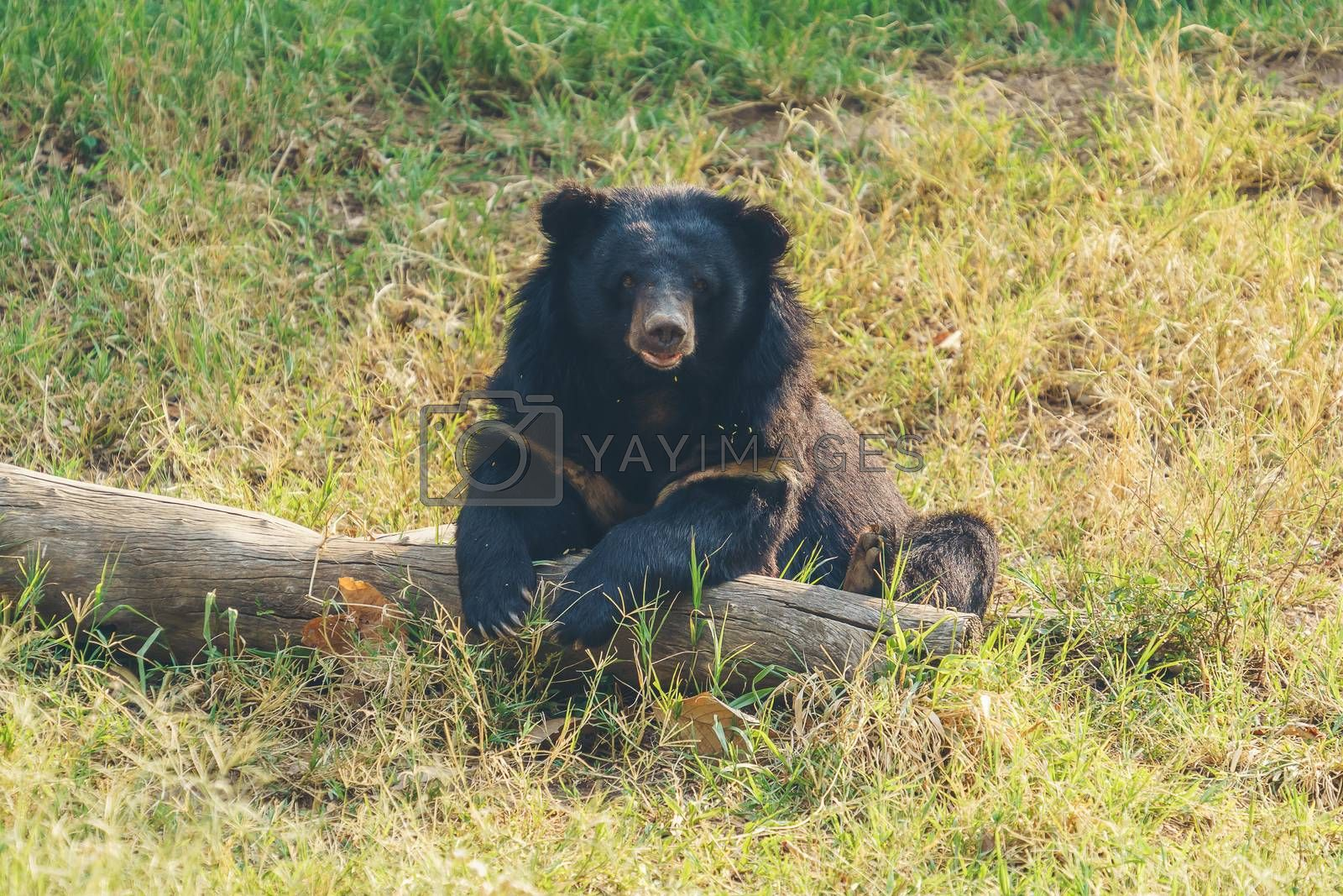 asiatic black bear or moon bear