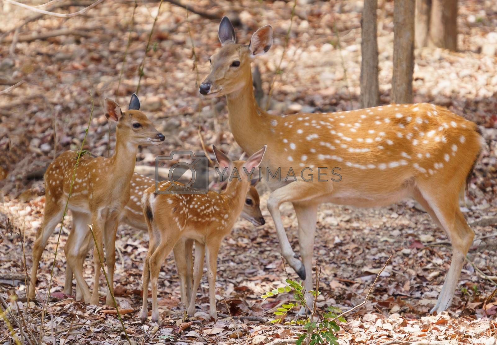 group of female and fawn sika deer