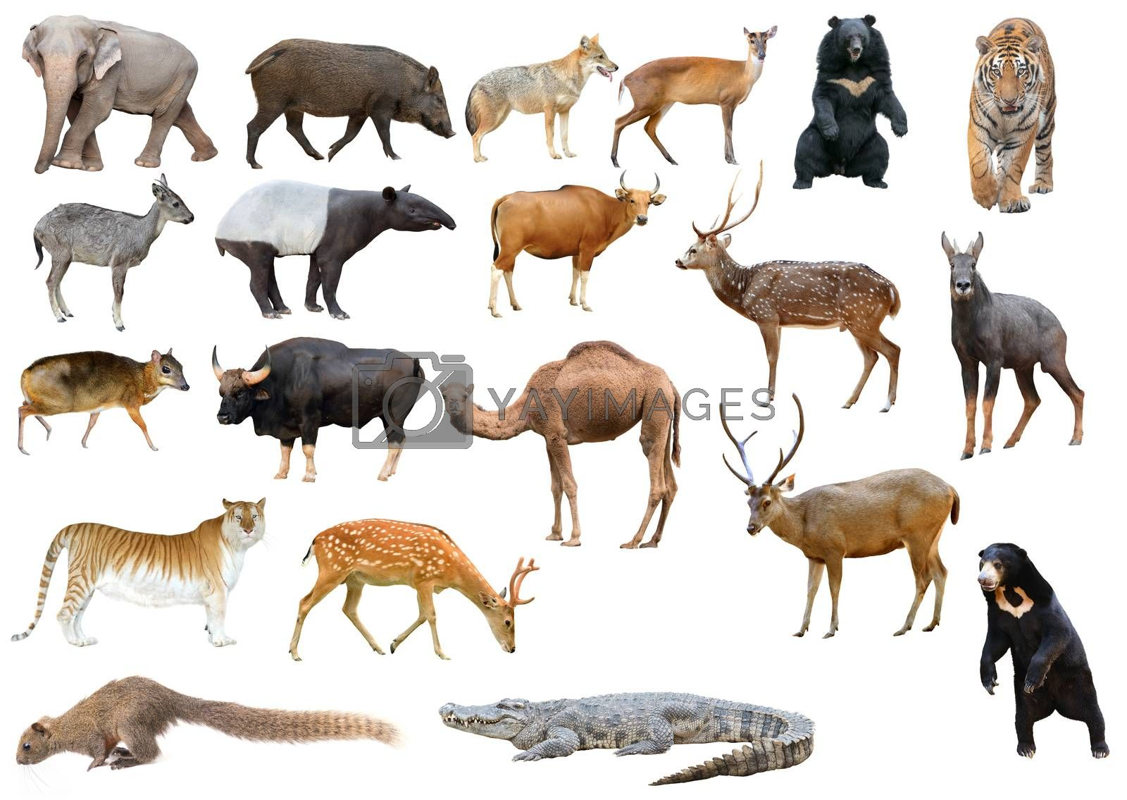 collection of asia animal isolated on white background