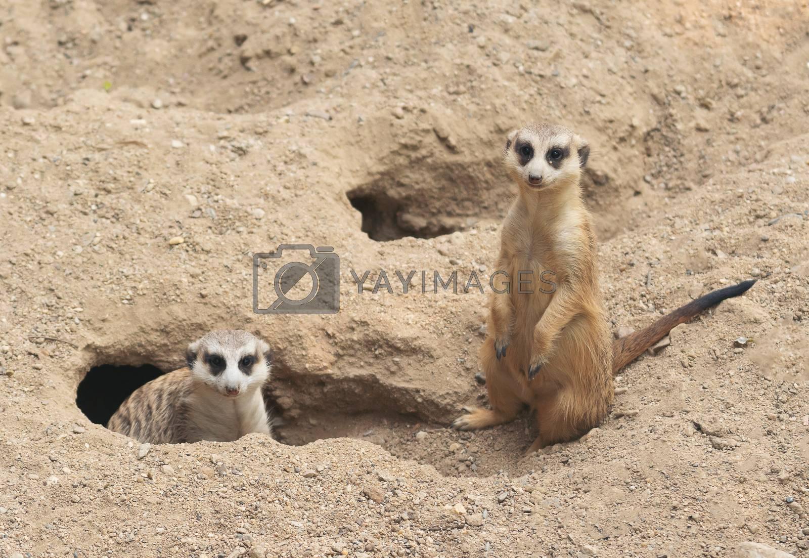 cute meerkat ( Suricata suricatta ) standing at cave entrance