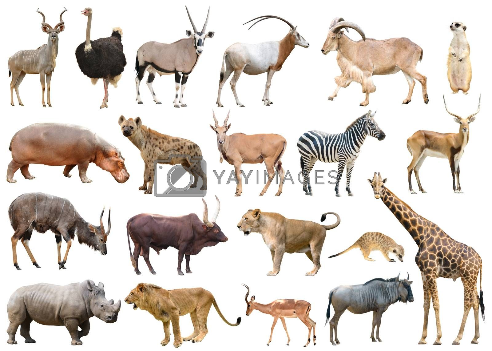 collection of africa animal isolated on white background