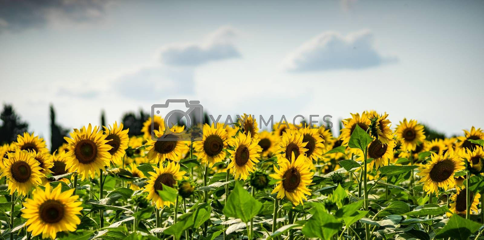 Blooming sunflowers in a field  summer landscape