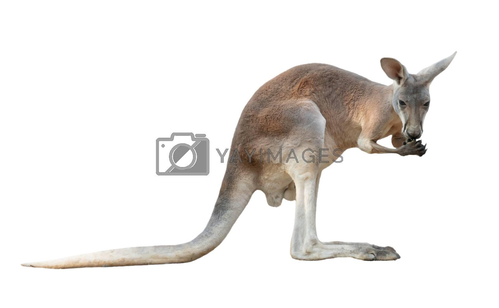 red kangaroo isolated on white background