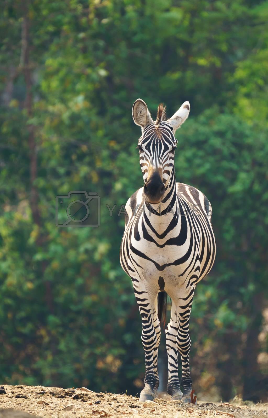 zebra standing alone in zoo