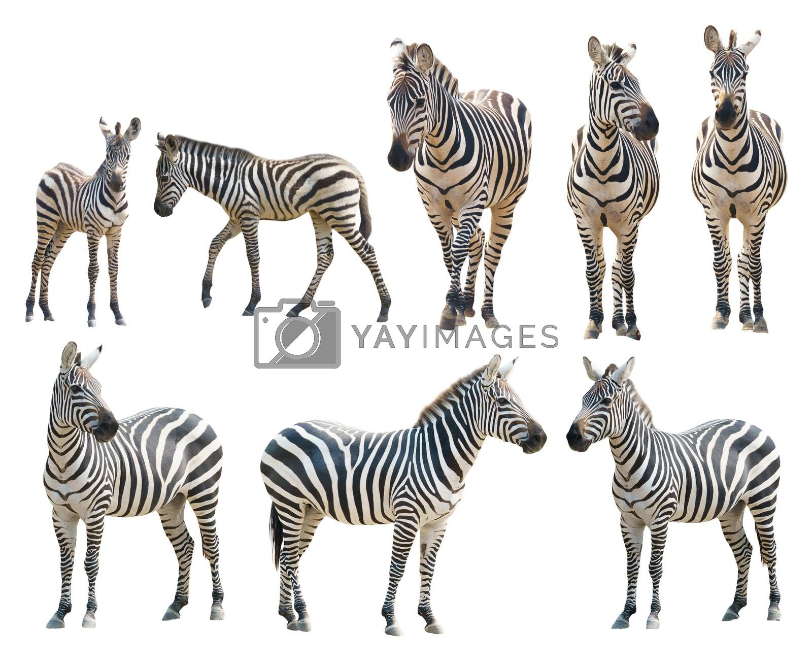 adout and young zebra isolated on white background