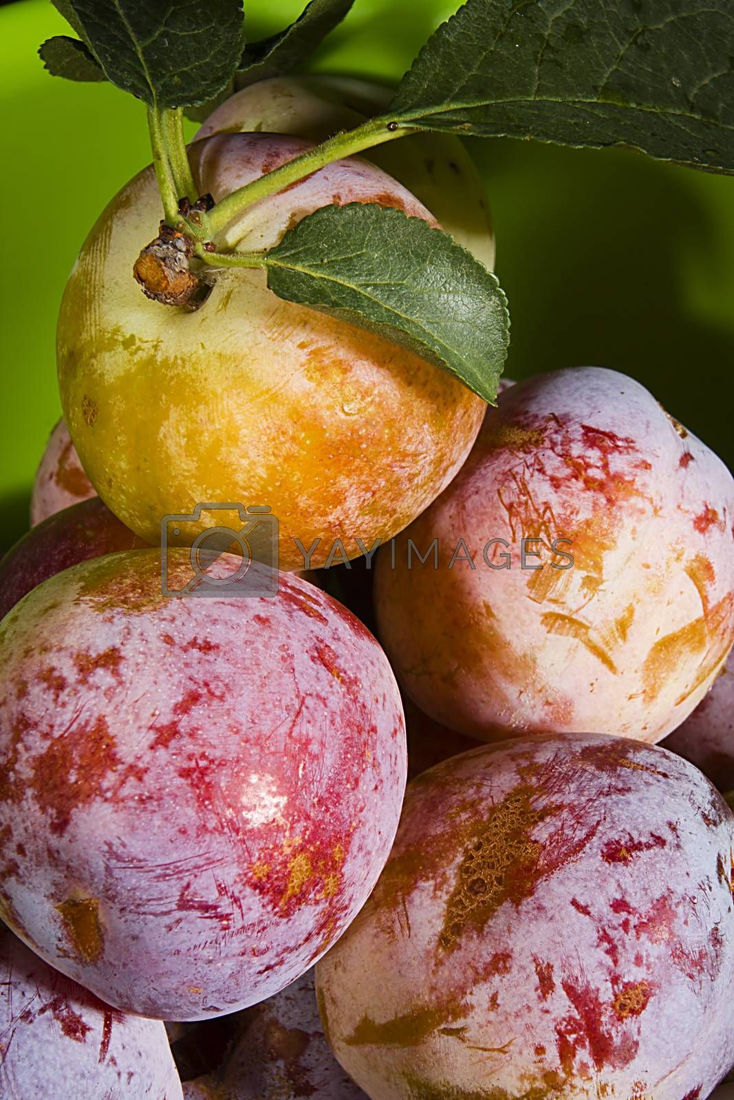 Many ripe plums on a green background