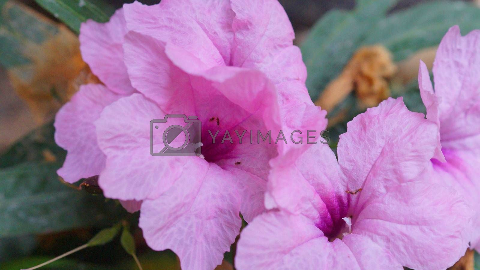 Beautiful Bougainvillea flowers blooming in garden.