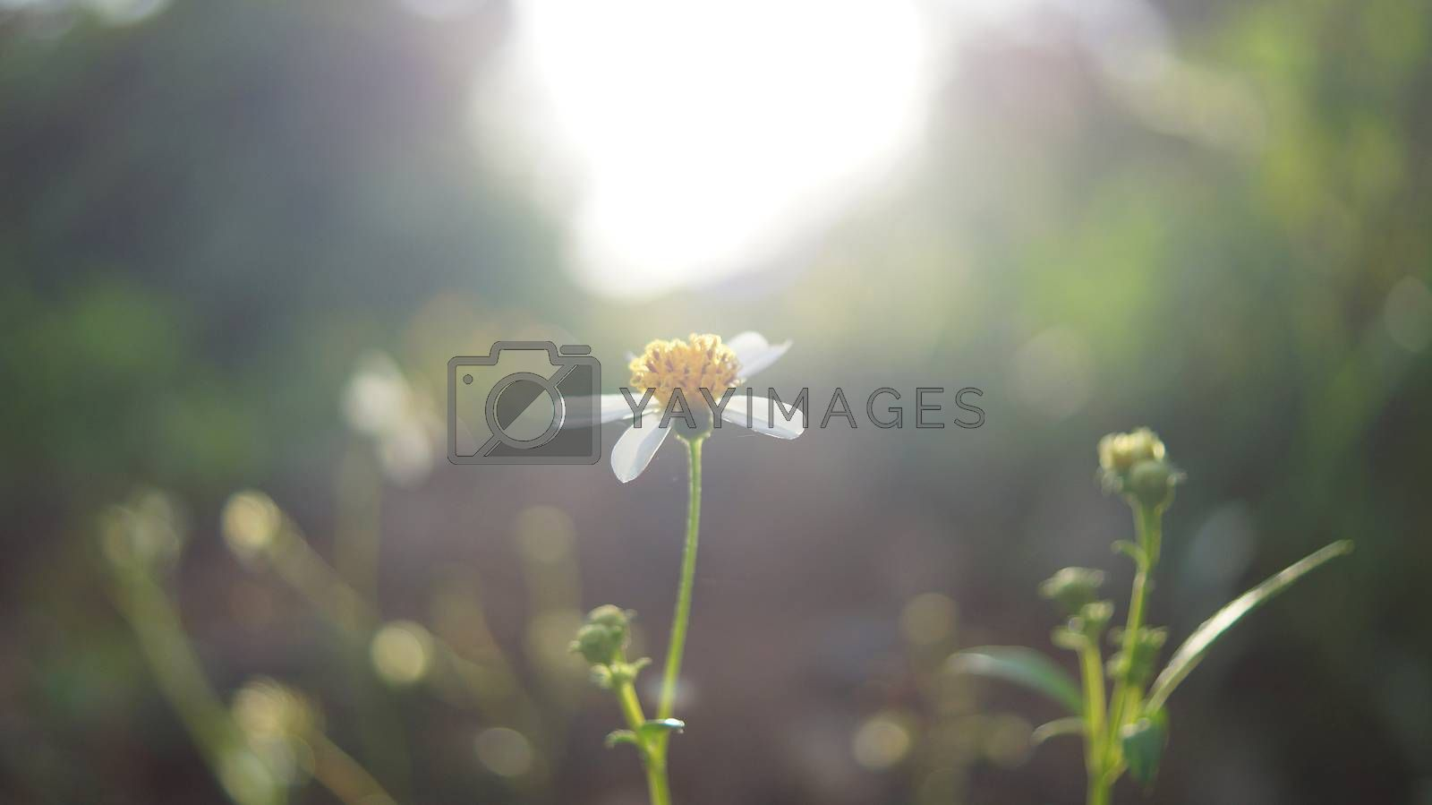 Vintage soft focus of nature wild flower on morning warm sunlight background.