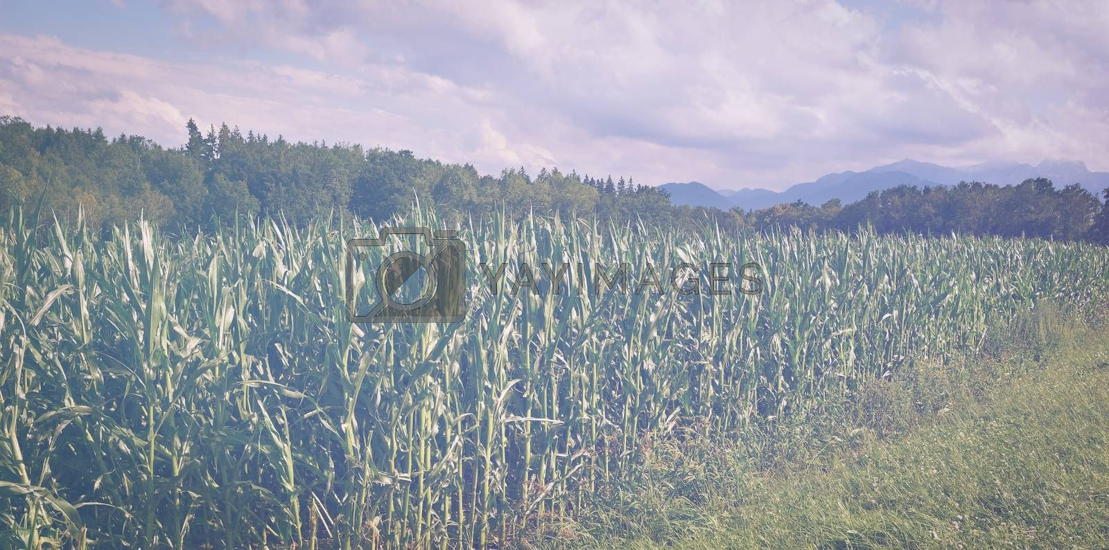 Deserted fields of Germany Deserted Venice in faded color effect. Maize plantation in southern Bavaria.