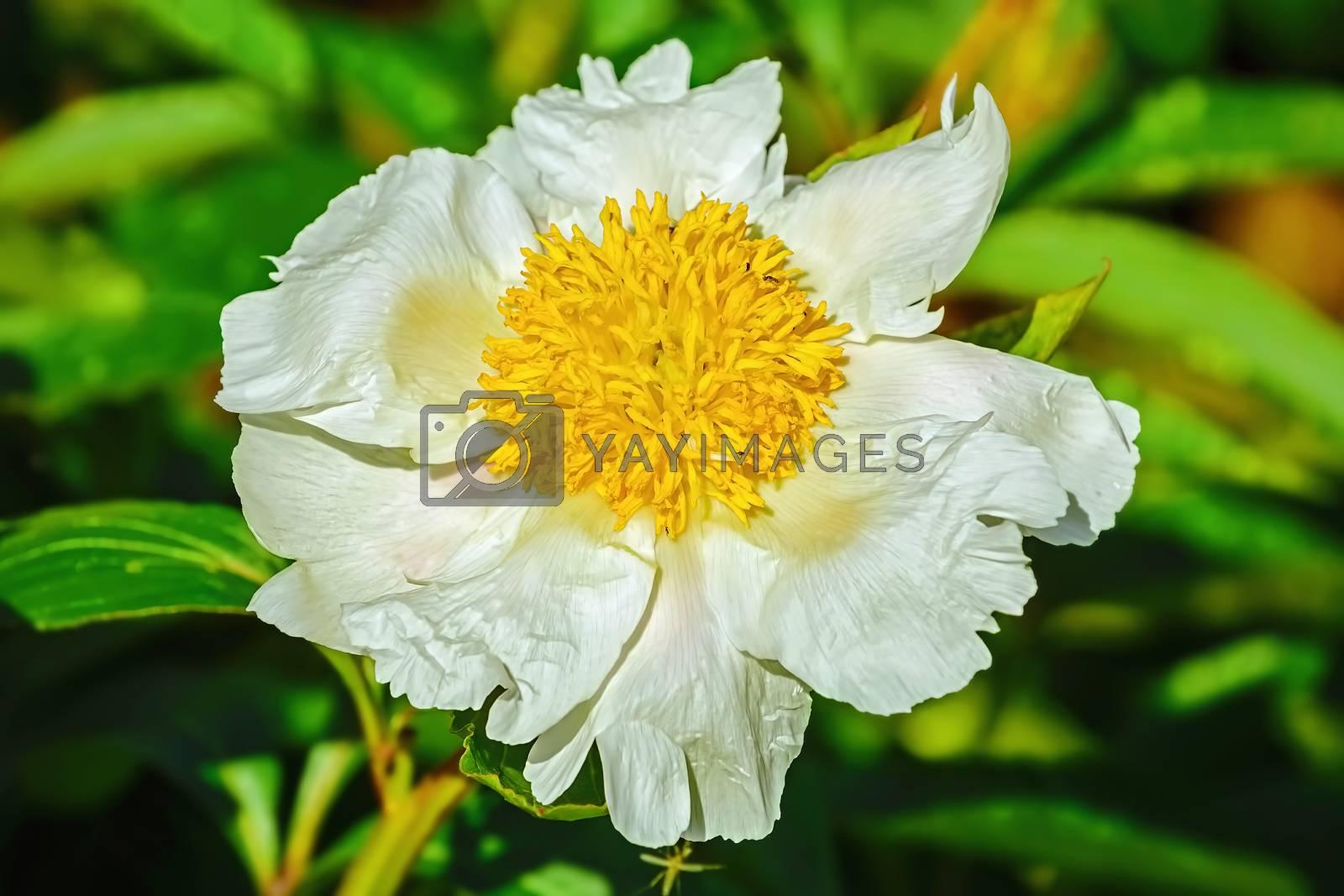 Flower of Peony in the garden