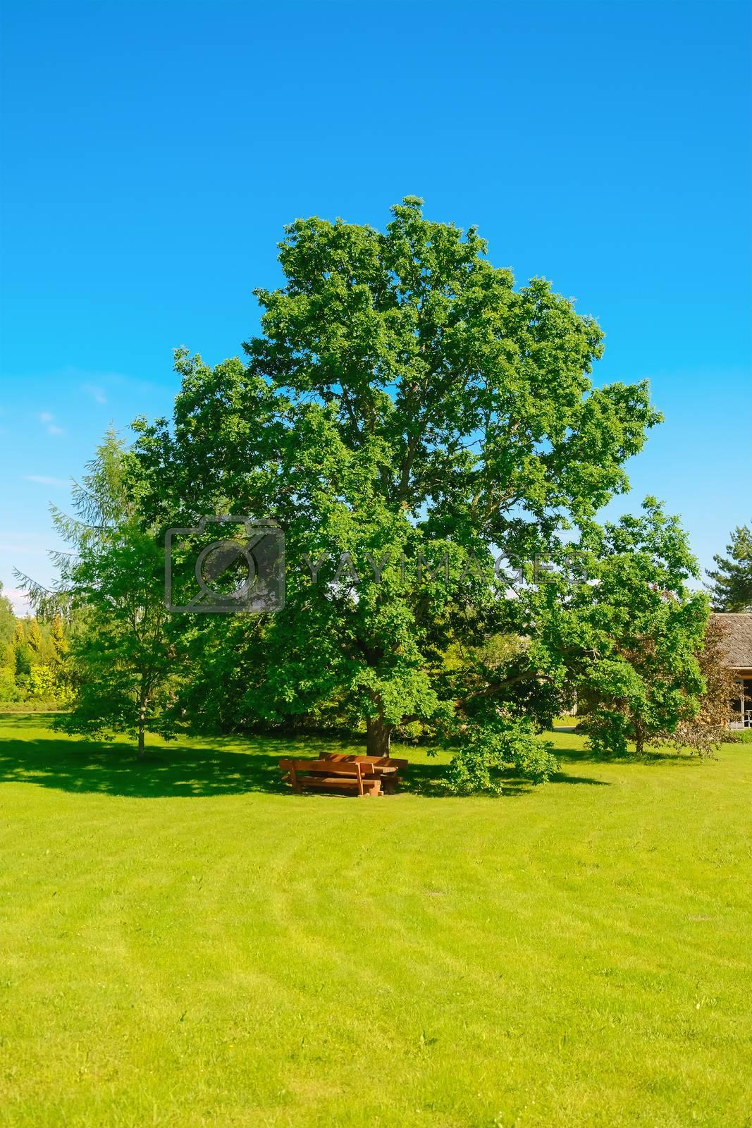 Big oak tree on the green lawn