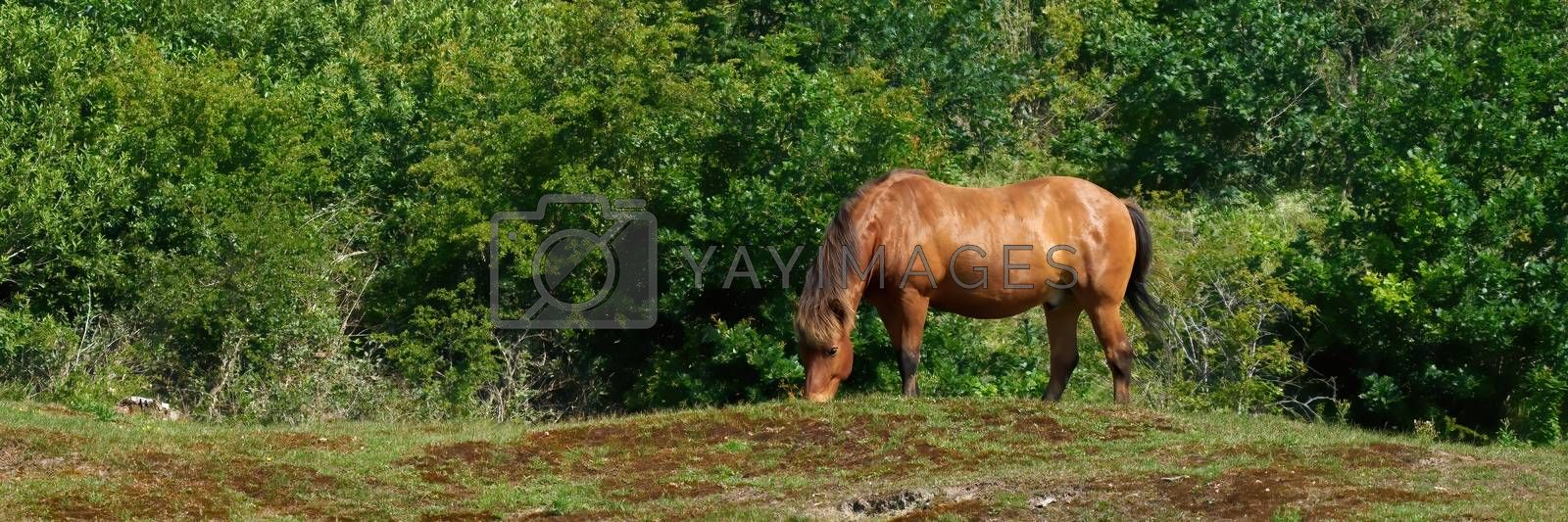 Exmoor horse grazing on the pasture. A horse breed used for nature conservation management.