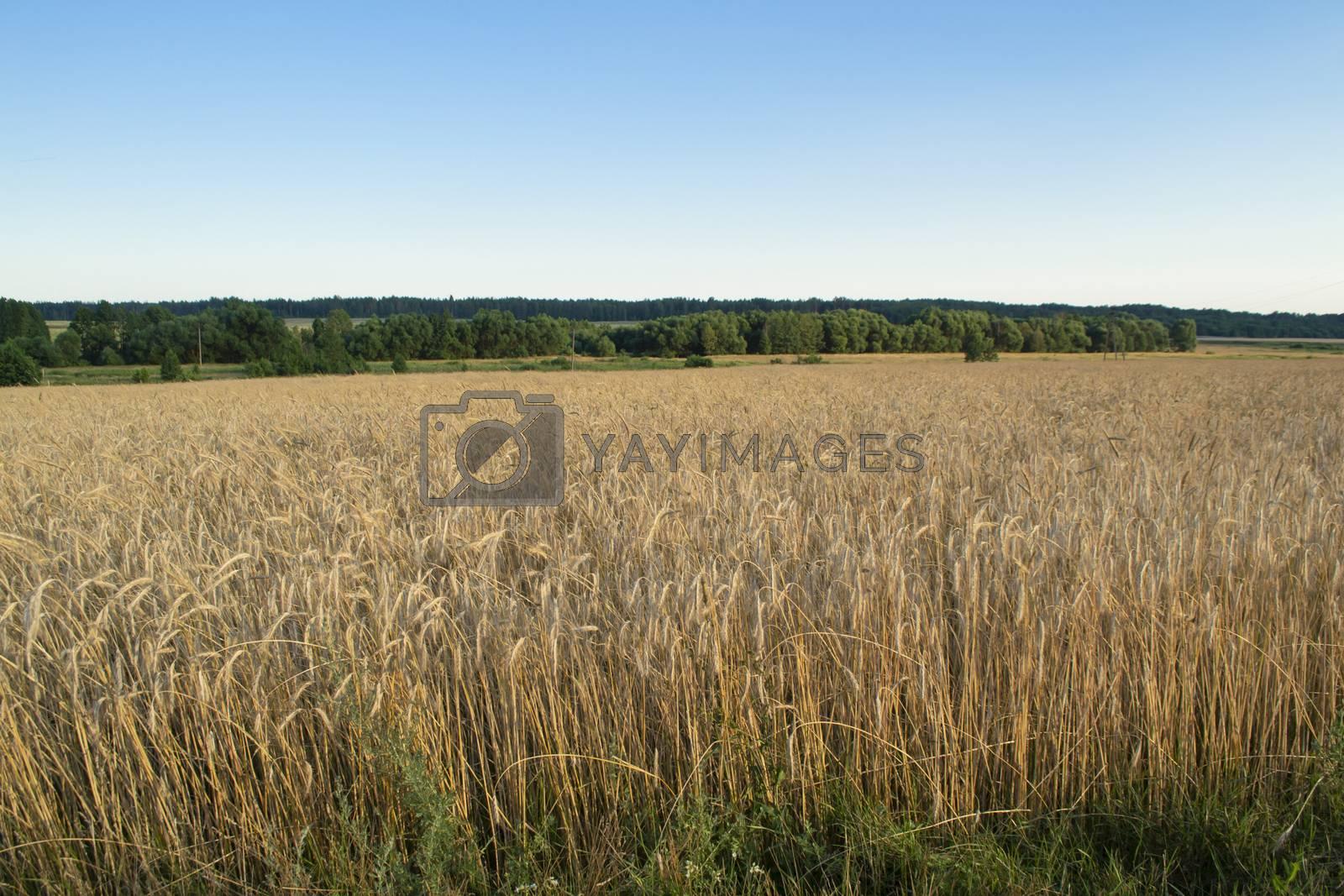 Yellow grain ready for harvest growing in a farm field. Landscape in Belarus