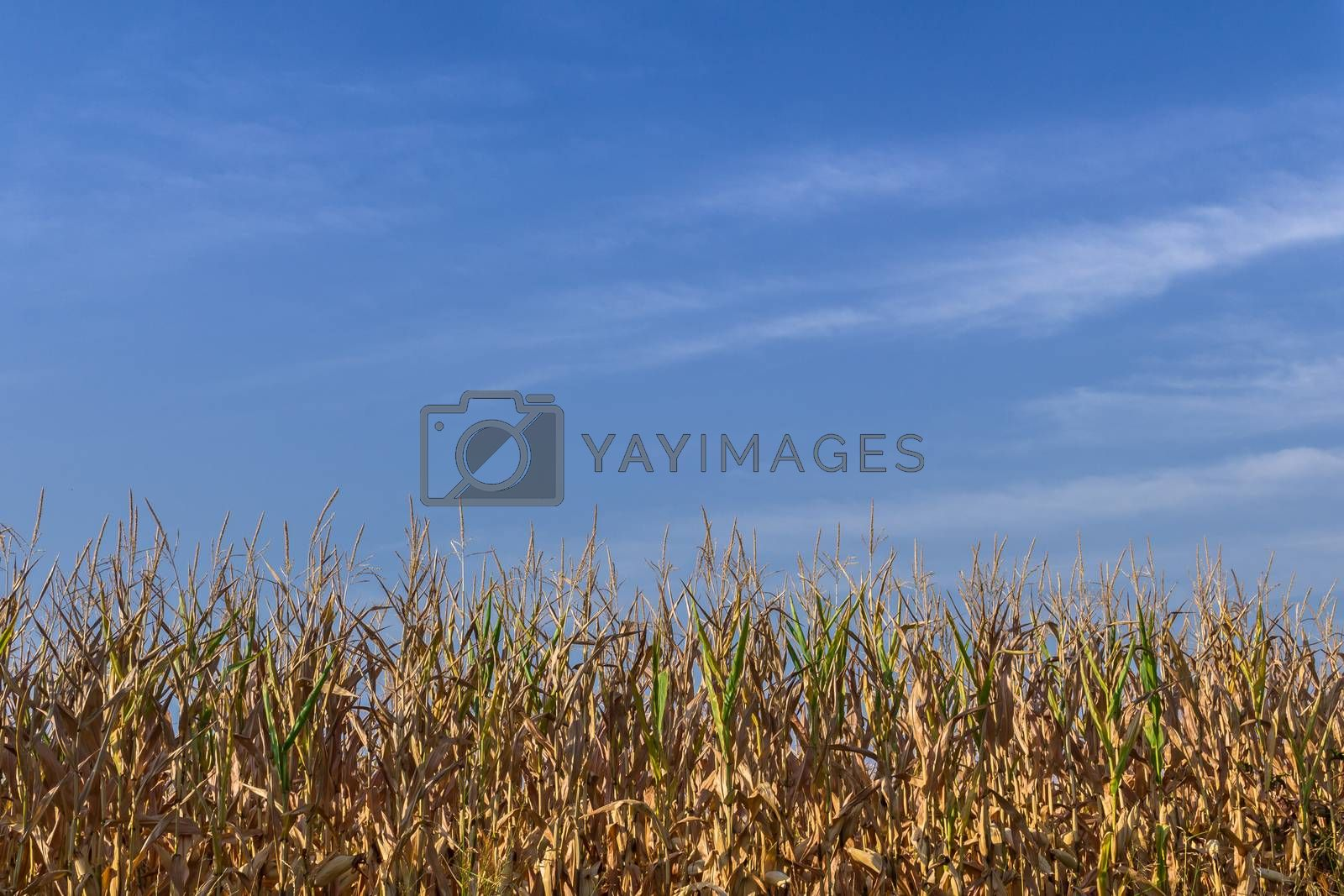Horizontal shot of a wheat field with blue sky in the background.