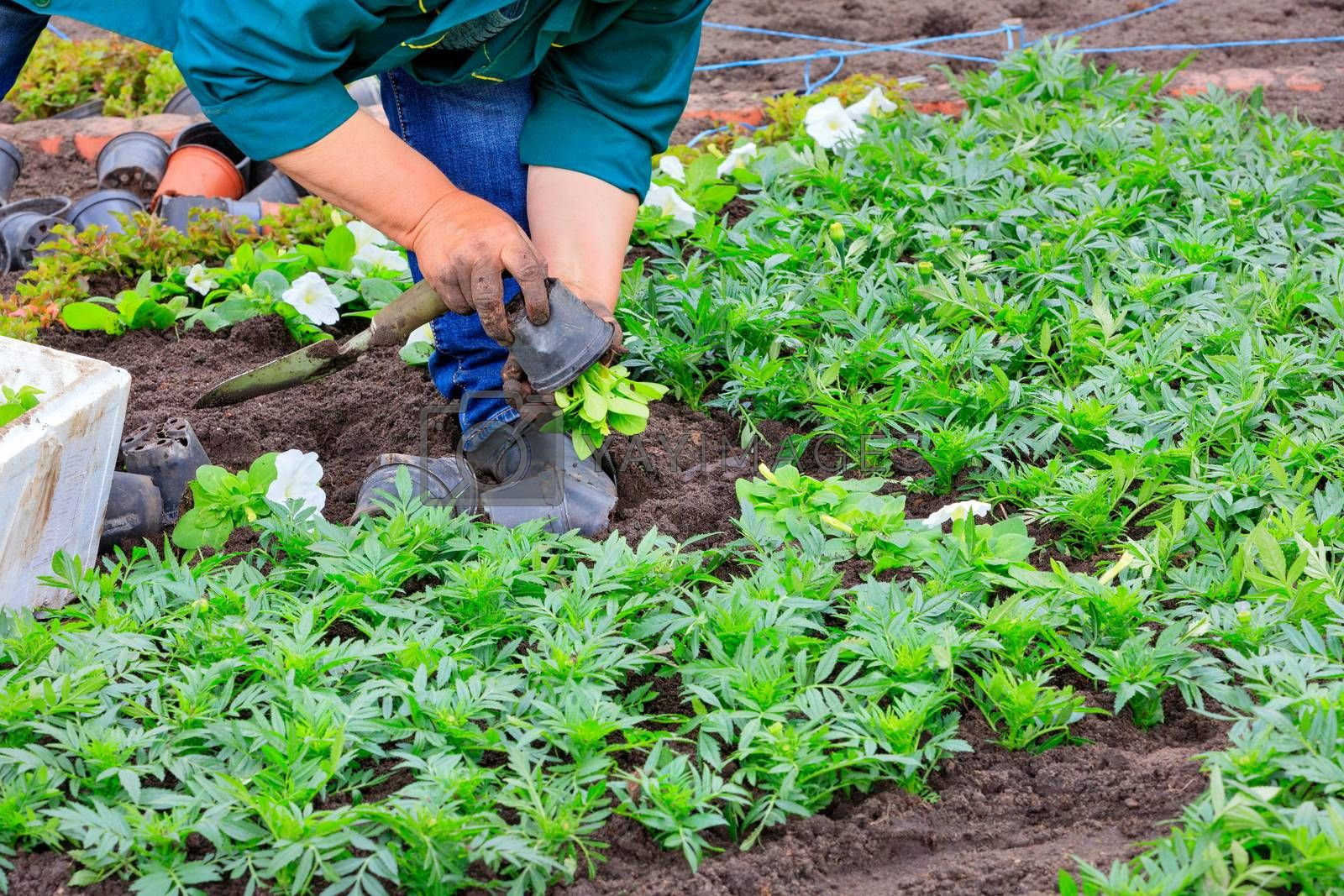 Using a scoop, the farmer plants seedlings of flowers in the flowerbed, pulling them out of small plastic pots and planting them in the ground.