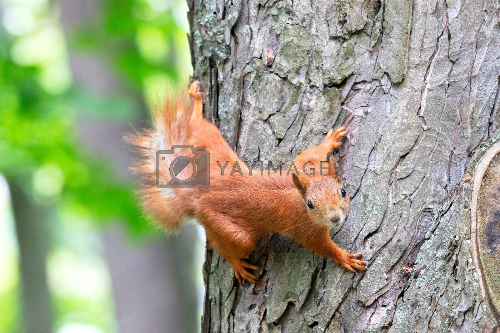 Orange fluffy squirrel carefully looks forward, clinging with sharp claws on its paws to the trunk of a tree, selective focus.